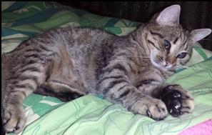 SHANA - chat femelle aveugle, née en fin 2016 - EN FA A PASCANI - Adoptée par Nanette 71 (71) 532