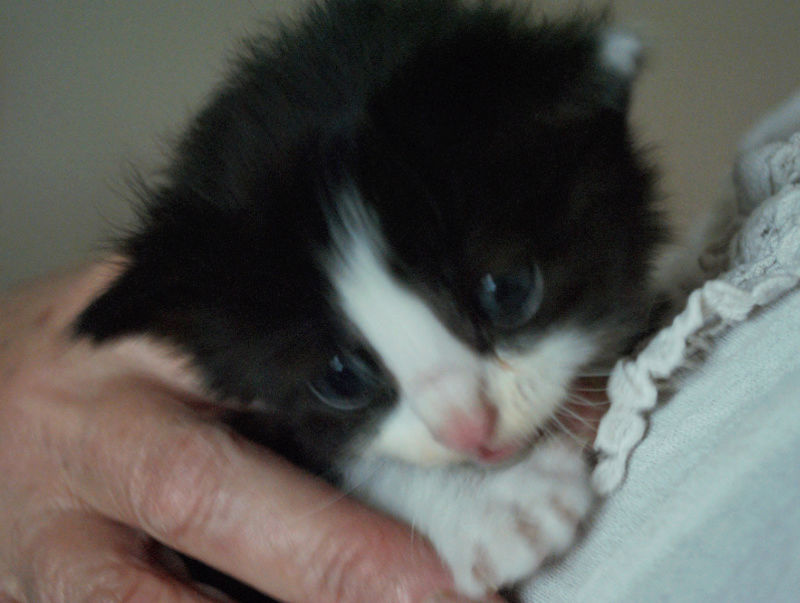 OREO - chaton mâle noir et blanc né en avril 2018 - adopté par Marleen (84) Chaton13
