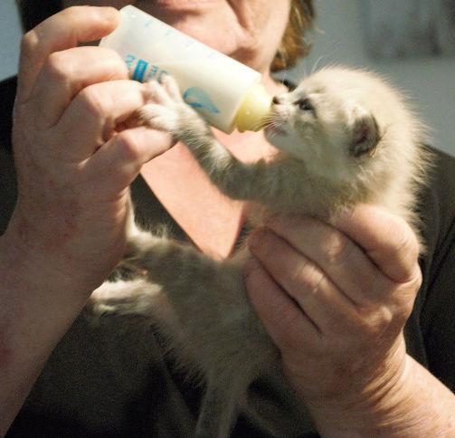 OSLO - chaton mâle blanc atteint de strabisme né en avril 2018 - adopté par Katy dans le 84 Chaton15