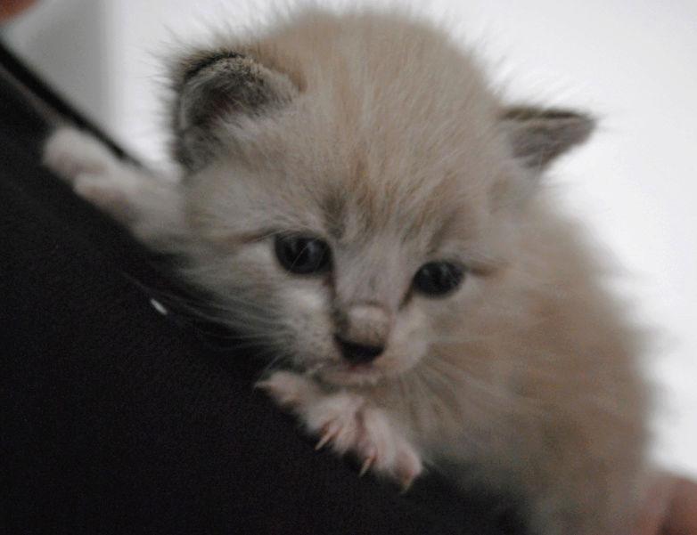 OSLO - chaton mâle blanc atteint de strabisme né en avril 2018 - adopté par Katy dans le 84 Chaton16