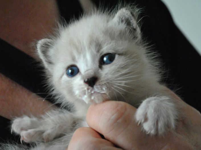 OSLO - chaton mâle blanc atteint de strabisme né en avril 2018 - adopté par Katy dans le 84 Chaton17