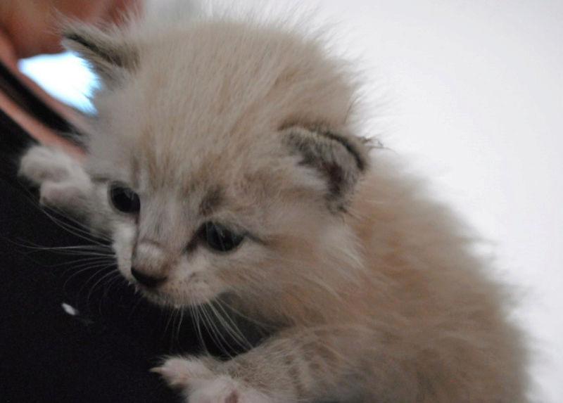 OSLO - chaton mâle blanc atteint de strabisme né en avril 2018 - adopté par Katy dans le 84 Chaton21