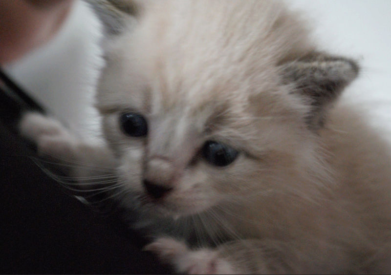 OSLO - chaton mâle blanc atteint de strabisme né en avril 2018 - adopté par Katy dans le 84 Chaton22