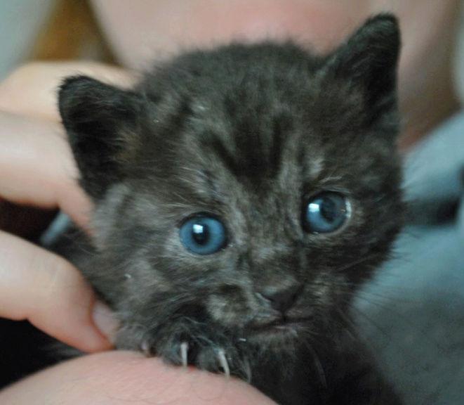 OPIUM - chatonne femelle grise / noire née en avril 2018 - adoptée par Romane (84) Chaton23