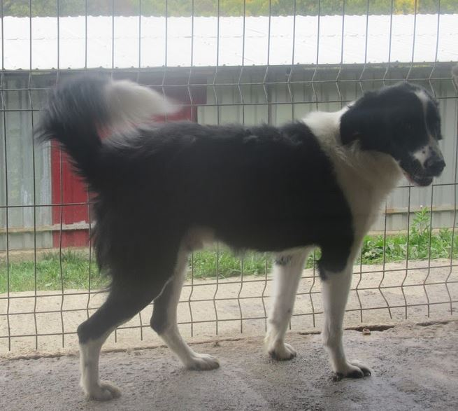 SOLVEIG (ex DOMINO) - mâle croisé, taille moyenne, né en 2013 (Pascani)- REMEMBER ME LAND - Adopté par Aurélie (Belgique)  - Page 3 Domino16