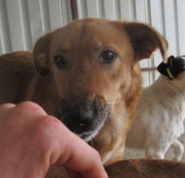 LEILA (ex GINGER) - Femelle, croisée, de grande taille, née en 2012 ( PASCANI ) REMEMBER ME LAND - Adoptée par Nicole (91) Ginger11