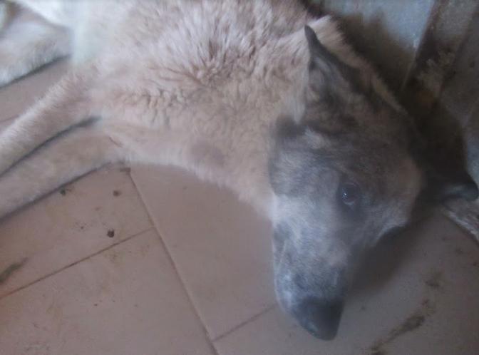 URGENCE pour LAGOON - femelle croisée de taille moyenne, accidentée, née en 2012. Douce (PASCANI) - REMEMBER ME LAND - décédée Lagoon16
