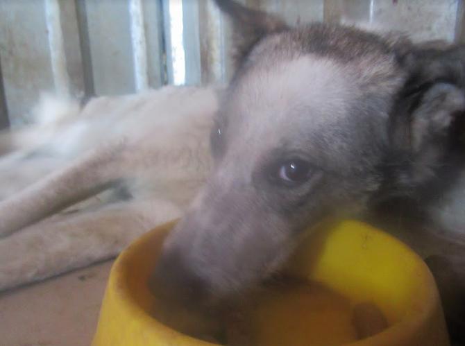URGENCE pour LAGOON - femelle croisée de taille moyenne, accidentée, née en 2012. Douce (PASCANI) - REMEMBER ME LAND - décédée Lagoon20