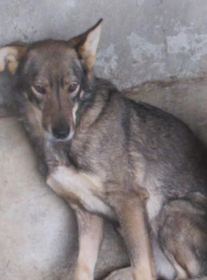 LUPI !! + de 3 ans de box !! - femelle , née environ en 2010, typée chien loup de sarloos, taille moyenne - REMEMBER ME LAND - Page 2 Lupi110