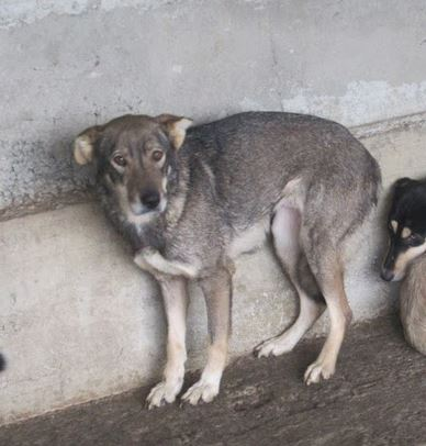 LUPI !! + de 3 ans de box !! - femelle , née environ en 2010, typée chien loup de sarloos, taille moyenne - REMEMBER ME LAND - Page 2 Lupi610