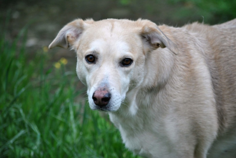 DIANA - femelle Labrador x Retriever de grande taille, née environ février 2010 (Camelia)- adoptée par Béatrice (54)  - Page 3 Receiv63