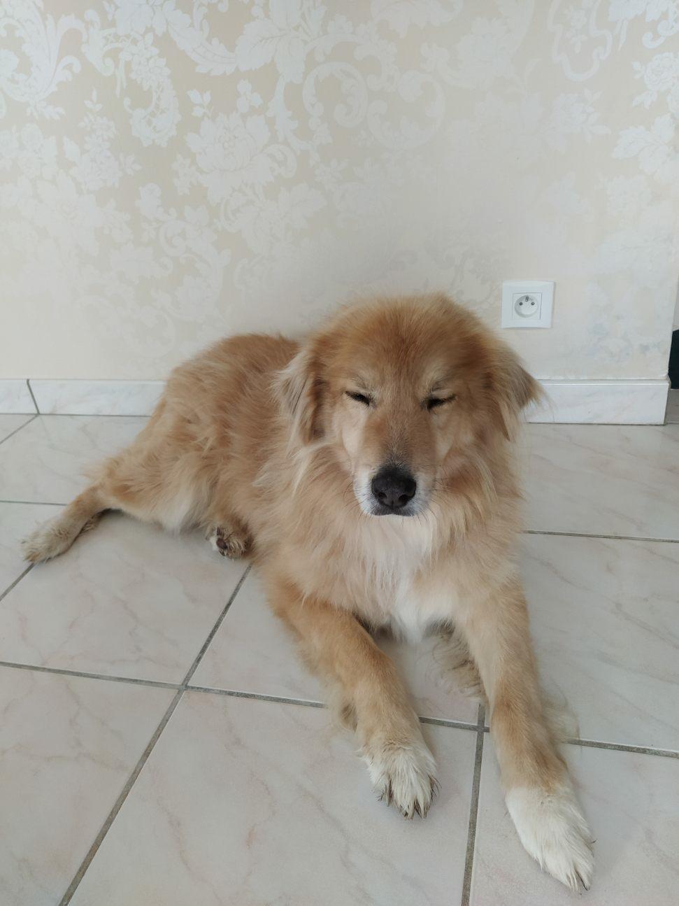 POUFFY - Mâle croisé golden retriever / chow chow taille moyenne - Né environ en juin 2007 - adopté par Alizée (63) - décédé - Page 4 Save_234