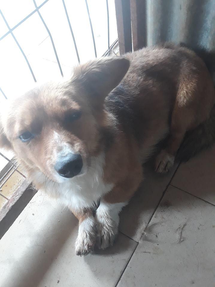 LOKI (ex SONIC) - petit mâle roux brachygnathe tapé par une voiture né en juin 2016 - REMEMBER ME LAND - Adopté par Aurore (27) Sonic410