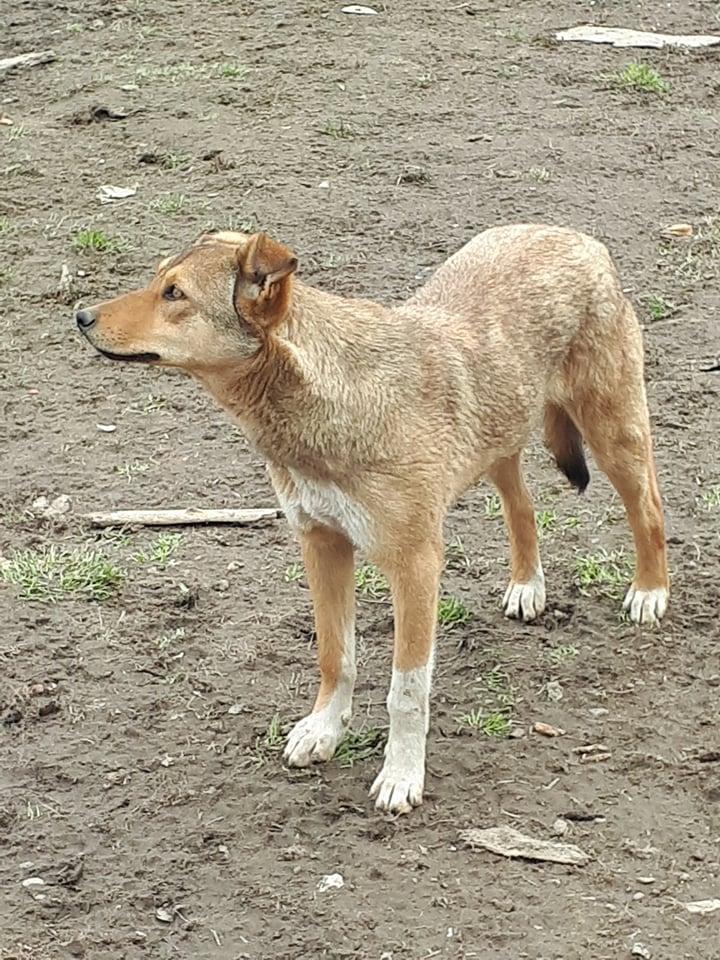 GINGER (ex YARA) - femelle croisée de taille moyenne, née début avril 2017 - REMEMBER ME LAND - Adoptée par Raquel (Belgique)  Yara111
