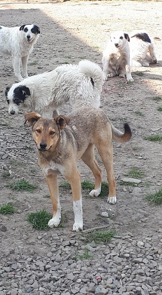 GINGER (ex YARA) - femelle croisée de taille moyenne, née début avril 2017 - REMEMBER ME LAND - Adoptée par Raquel (Belgique)  Yara112