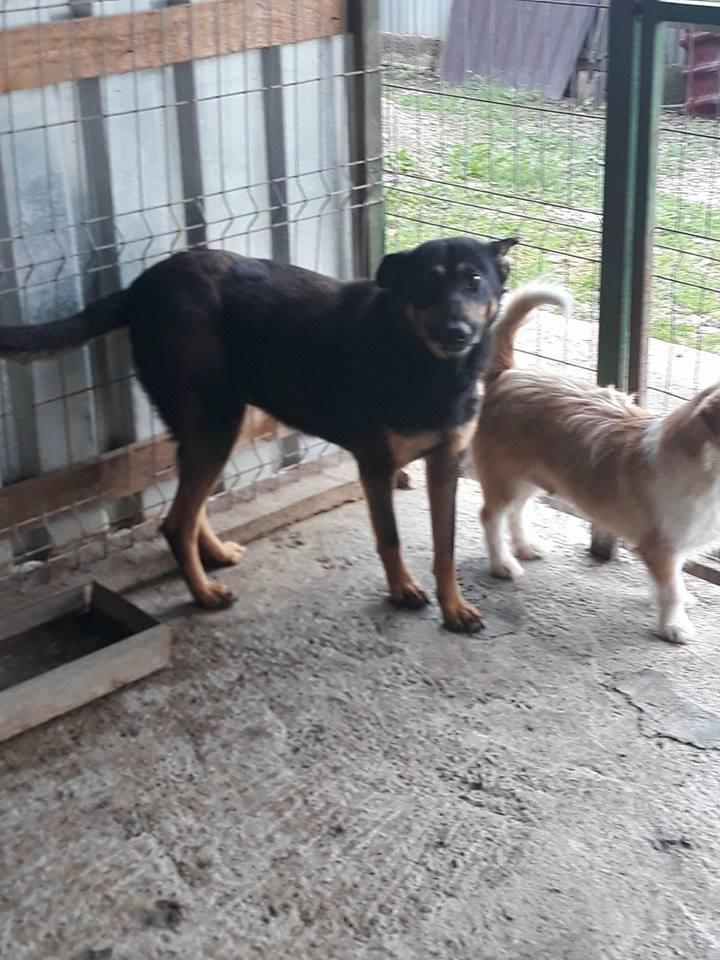 ZIGZAG, chien battu et martyrisé - mâle croisé Berger Allemand, taille moyenne, né environ 2008 - (PASCANI) REMEMBER ME LAND - Adopté par Laury-Anne (35) Zigzag10