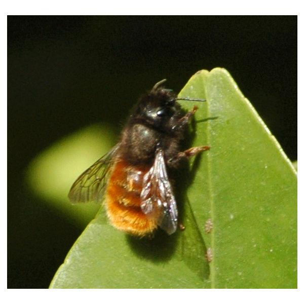 [besoin avis] Un coup de Bourdon chez les abeilles?  Un_bou10