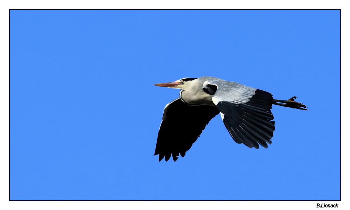 La saison des z'hérons Heron010