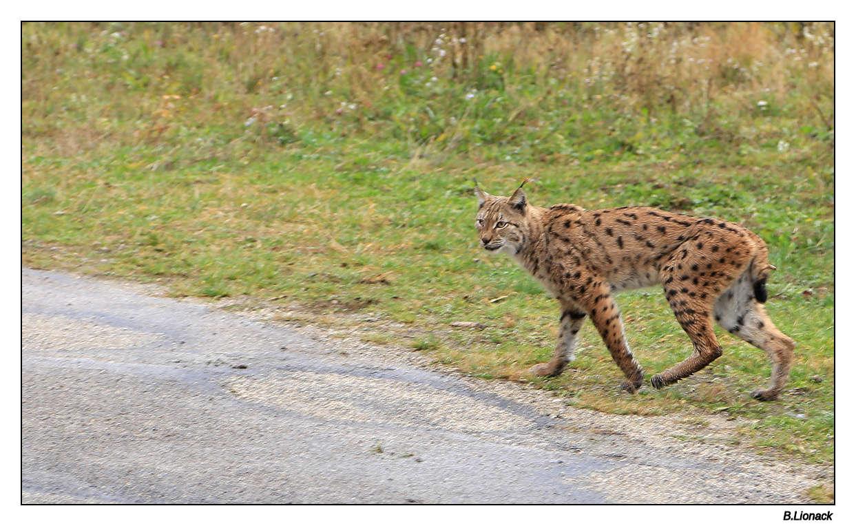 Rencontre fortuite + épilogue Lynxfo10
