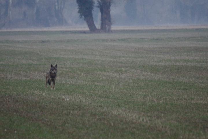 Canis Lupus Img_0110