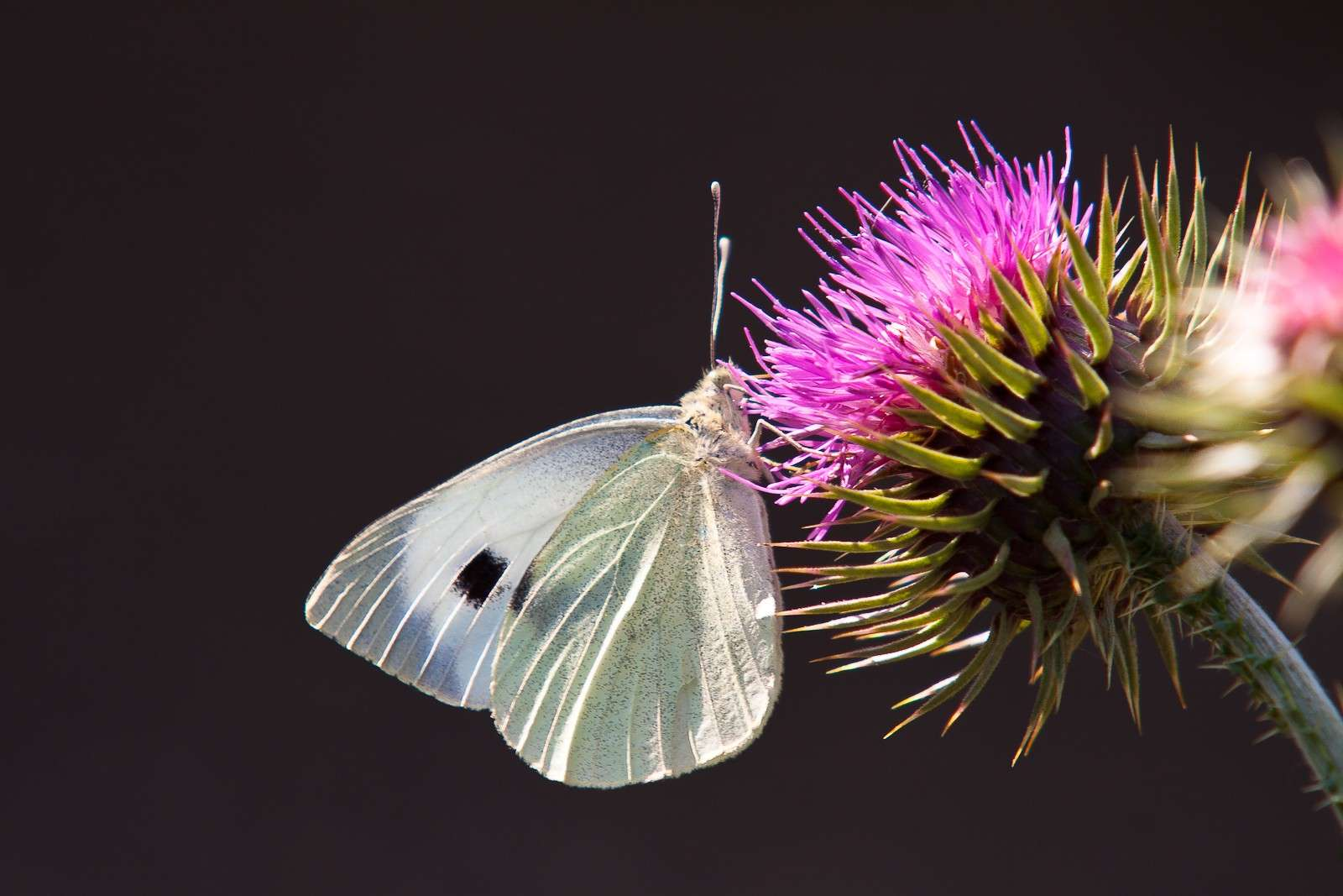 Ignota farfalla 1 Img_3810