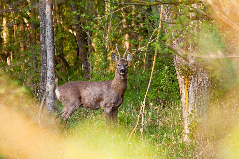 Capriolo nel bosco Img_6612