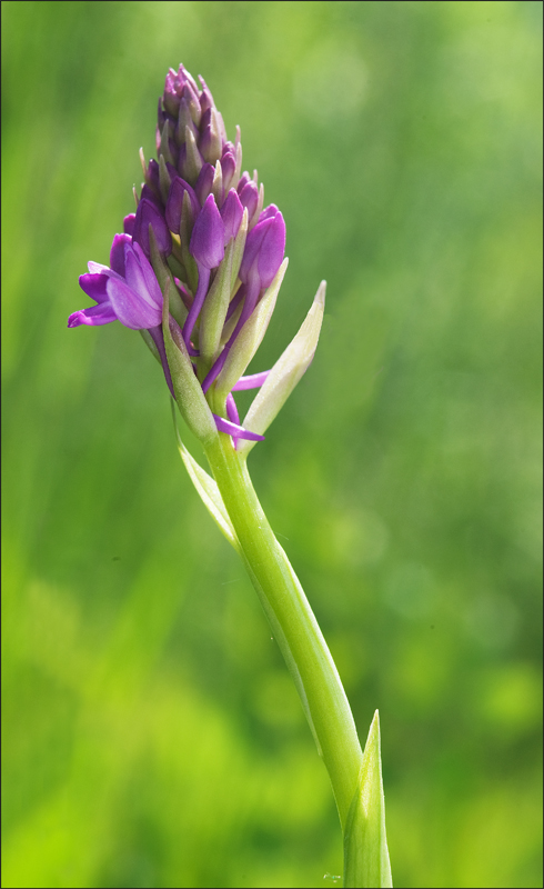 orchidea (ma qual'è ?) 23_5_c10