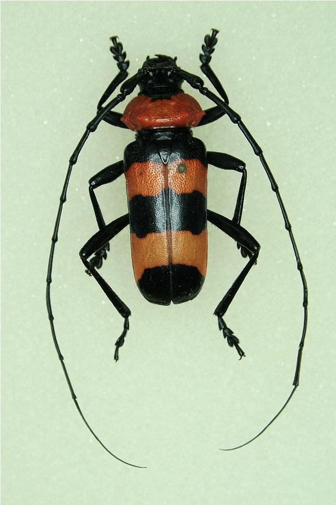 [Pavieia superba]Cerambycidae thaïlandais Img_8220