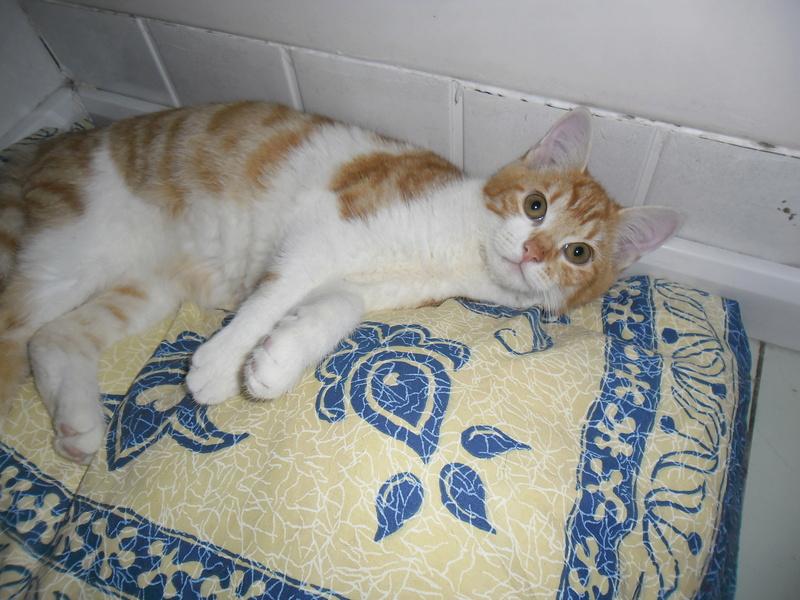 Tigrou,(blanc et roux) né en avril 2017 Sam_2213