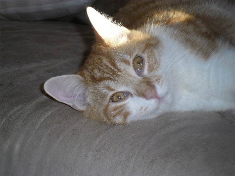 Tigrou,(blanc et roux) né en avril 2017 Sam_2425