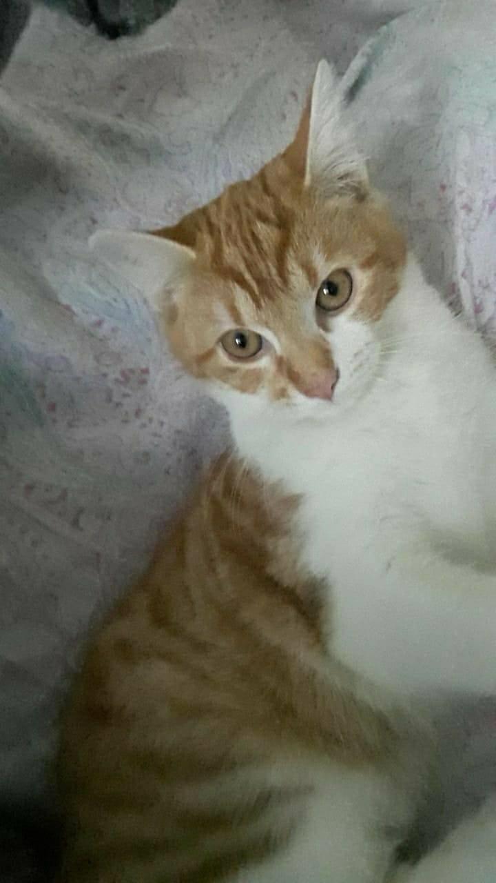 Tigrou,(blanc et roux) né en avril 2017 Tig110