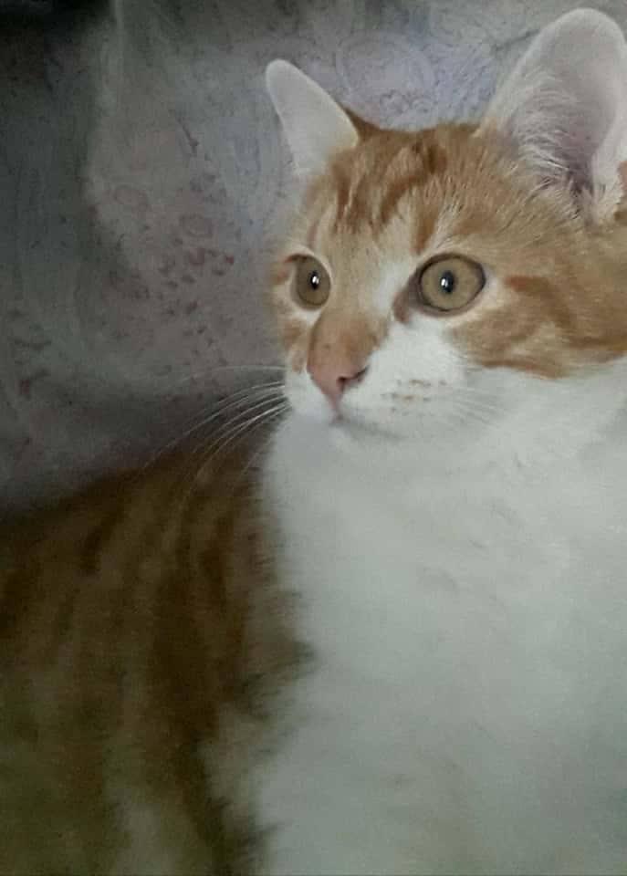 Tigrou,(blanc et roux) né en avril 2017 Tig210