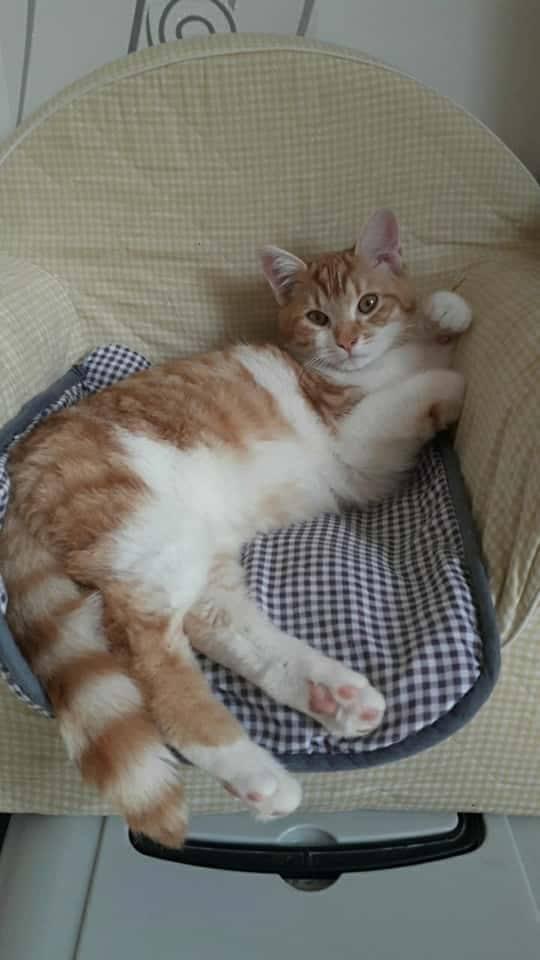 Tigrou,(blanc et roux) né en avril 2017 Tig410