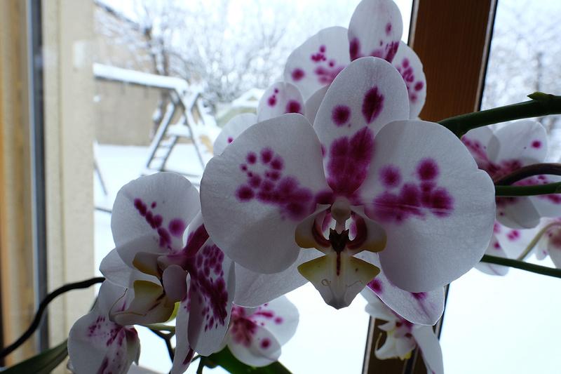 Orchideen 3 (fortlaufende Seiten 300 bis 400) - Seite 6 18_01_10