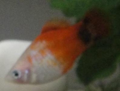 Problème avec mon poisson Poisso11