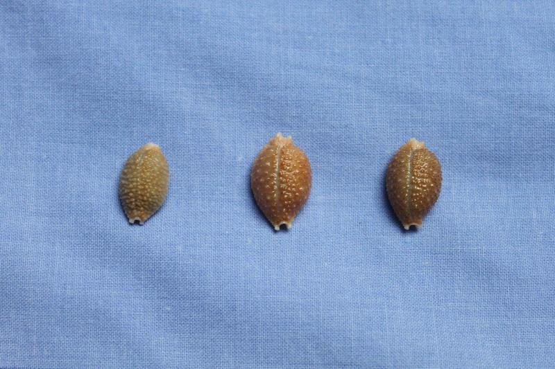 Nucleolaria nucleus nucleus (Linnaeus, 1758) voir Nucleolaria nucleus (Linnaeus, 1758) Img_2714