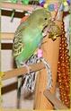 JEUX et LIEUX FAVORIS de nos oiseaux Gribou10