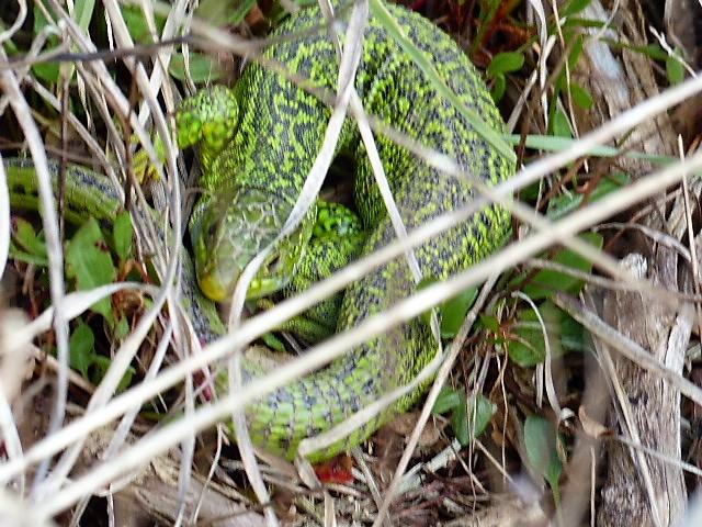 sortie des reptiles P1160316