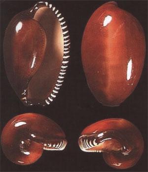 Sphaerocypraea incomparabilis - (Briano, 1993) 20084610