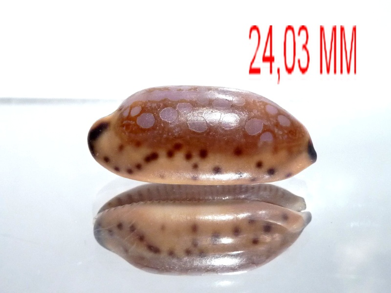 Mauritia scurra mundula - Lorenz, 2002  voir  Mauritia scurra scurra - (Gmelin, 1791) Cyprae12