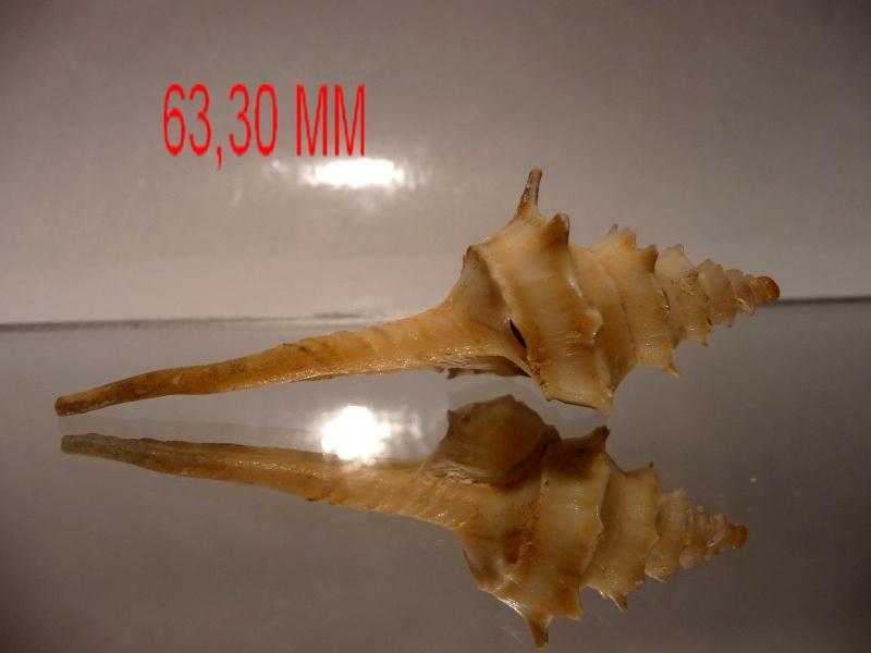 Columbariidae - Columbarium pagoda - (Lesson, 1831) P1030220