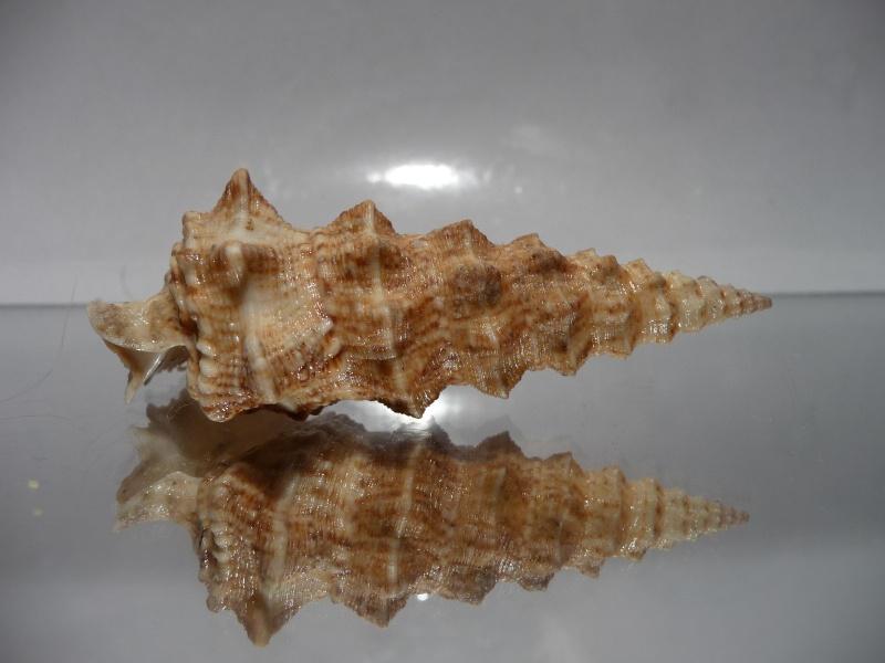 Cerithium nodulosum adansonii - Bruguière, 1792  P1030320