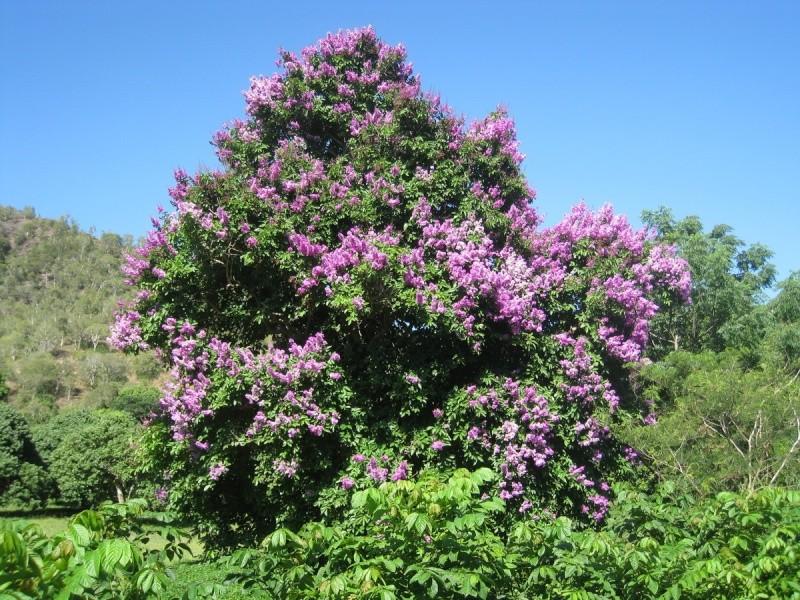 Arbre Fleurs Nouvelle Calédonie inconnu Inconn11