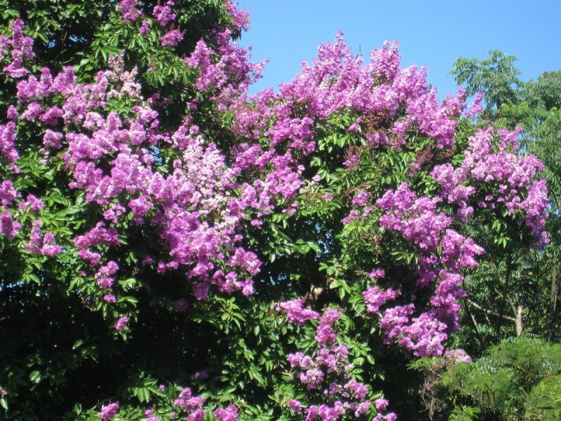 Arbre Fleurs Nouvelle Calédonie inconnu Inconn14