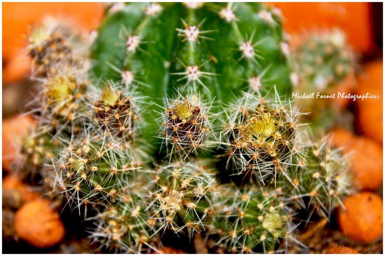 Echinopsis mais lequel??? 25_mai10