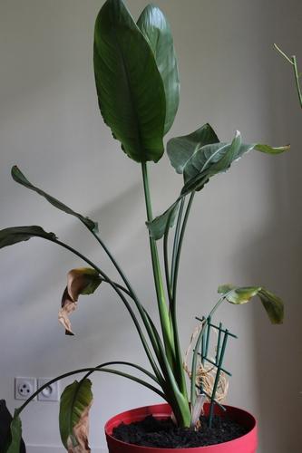 Age de mon Strelitzia reginae Img_0515
