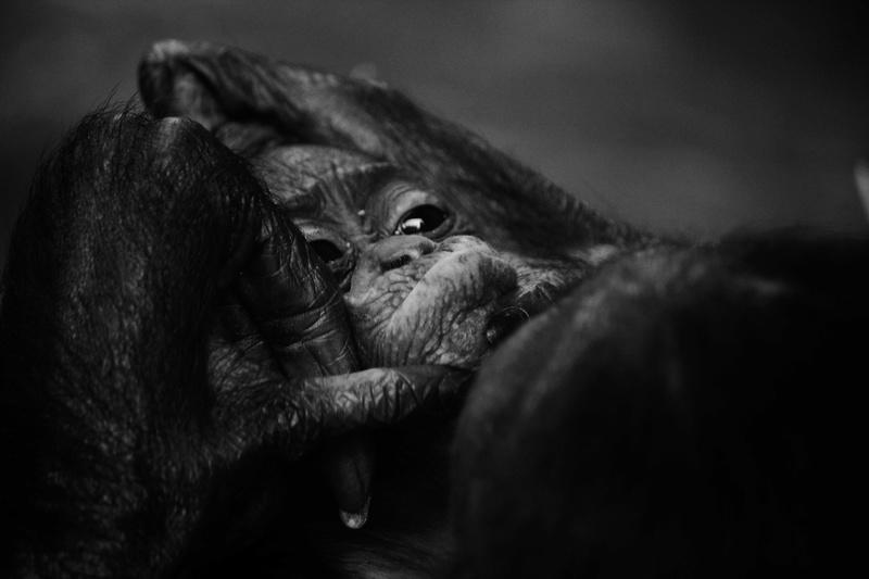 mother's love Bonobo11