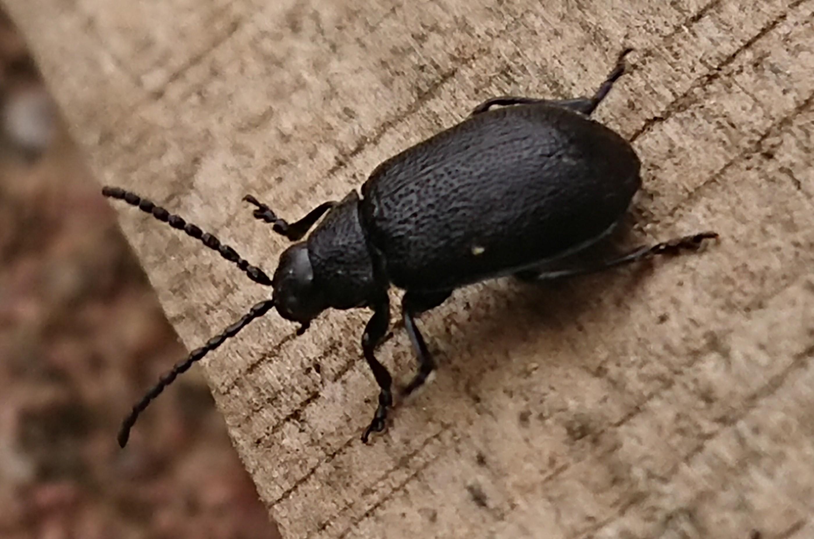 Invasion d'insectes noirs _2018010