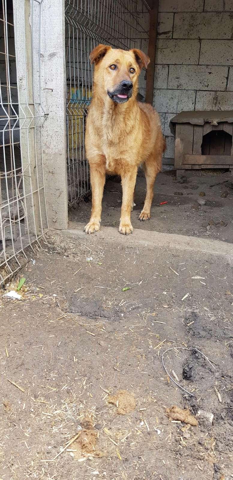 BOSKO  NÉ EN 2013 - croisé berger fauve - sauvé en mars 2017 - Parrainé par Ségo_Jack - R-SC- Bosko_10