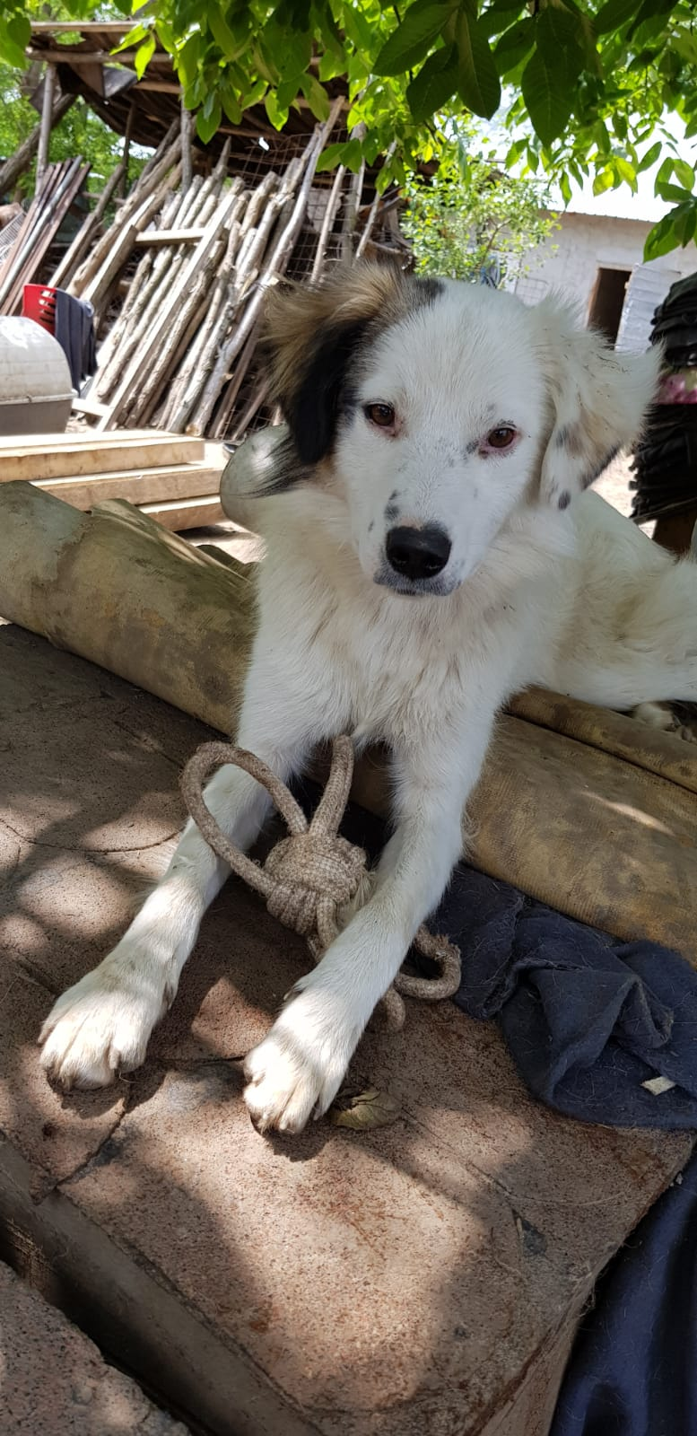 BULMA, née en mai 2017, SORTIE DE MIHAILESTI EN JUILLET 2017- marrainée par les3loulous -R-SOS-SC Bulma_14